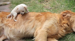 Golden Retriever dog playing and interacting with a puppy. Stock Footage