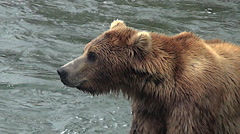 Closeup view of Alaskan Brown Bear Hunched over rock in river - zoom out - stock footage