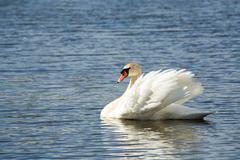 Stock Photo of Mute swan, Cygnus, single bird on water