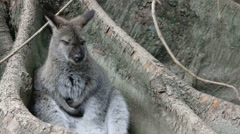 Parma wallaby in the buttress of Moreton bay fig Stock Footage