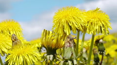 Yellow dandelion swaying in the wind - stock footage