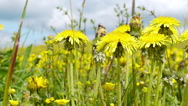 Stock Video Footage of Yellow dandelion swaying in the wind