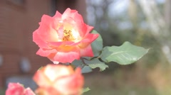 Rose Pink to Yellow Stock Footage