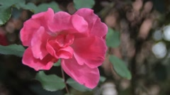 Pink Rose Bloom Blowing in the Wind Stock Footage