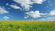 Stock Video Footage of Glade of dandelions on springtime