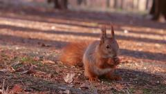 Squirrel gnaws a nut. Stock Footage
