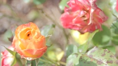 Yellowish Rose and Reddish Rose Stock Footage