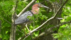 Amid Nature - Preening Little Green Heron Stock Footage