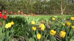 Yellow and red tulip flowers in sunny spring park, garden. 4K Stock Footage