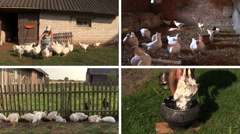 Farmer woman feed broiler and pluck feather. Video collage. Stock Footage
