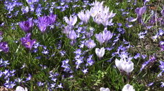 Crocus and squill blue flowers move in wind in spring garden. 4K Stock Footage