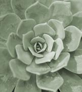 Nature background of succulent echeveria rosettes Stock Photos