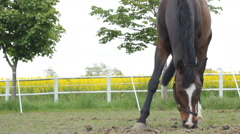 Horse rapeseed oil field 2 Stock Footage