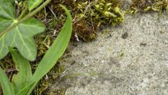 4K Black ants walking on a stone ground with moss and leaves around it Stock Footage