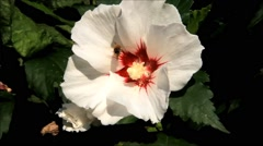 Wasp in flower hibiscus white Stock Footage