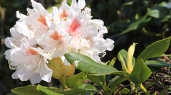 Rhododendron white, orange inside Stock Footage