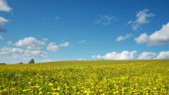 4K. Glade of dandelions on springtime Stock Footage