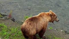 Alaskan Brown Bear Sow Yawns Then Sits Down By Rivers Edge--High Angle Shot Stock Footage