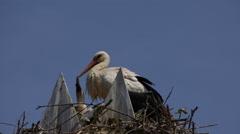 Nesting Stork Family Stock Footage