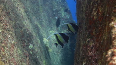 Moorish Idol underwater Stock Footage