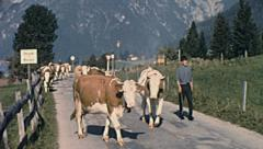 Achensee, Austria 1967: cows walking in the street Stock Footage