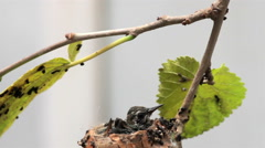 Baby hummingbirds resting in the nest, waiting for their mom to be fed. Stock Footage