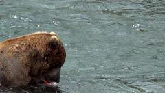 Zoom in on Alaskan Brown Bear in Water Eating Fish Stock Footage