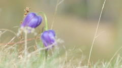 Alpine flowers in the wind - stock footage