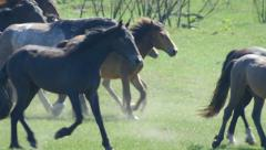 Wild horses galloping a motion Slow Stock Footage