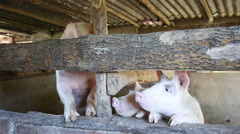 Pigs in barn Stock Footage