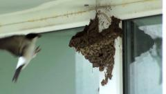 Common house martin builds a nest of mud Stock Footage