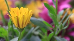 Solitary African Daisy flower bud in colorful flowerbed Stock Footage