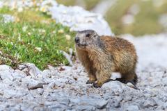 Alpine marmot (Marmota marmota) on rock - stock photo