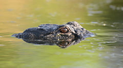 Stock Video Footage of Large American alligator submerged in swamp