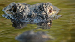 Large American alligator submerged in swamp Stock Footage
