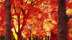 Autumn Flame Maple Tree in the Park Stock Footage
