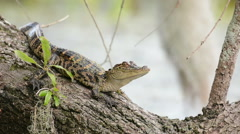 Juvenile alligators sunning on a fallen tree - stock footage