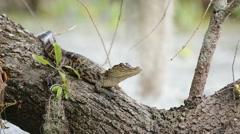 Juvenile alligators sunning on a fallen tree - stock footage