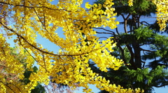A Gingko Tree with Yellow Leaves in Autumn in the Park - stock footage