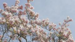 Magnolia  soulangeana flowering branches against blue sky slow tiliting 4K 38 Stock Footage