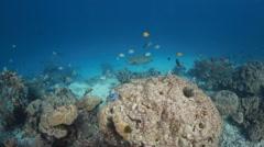 Napoleon wrasse big fish underwater Stock Footage