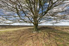 Stock Photo of Beech tree at a heather field near Ede
