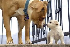 poodle puppy`s first meeting with senior amstaff - stock photo