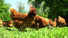 Closeup Free Range Chickens Pecking at the Ground 2 - stock footage