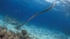 Sea snake swimming down from surface underwater Stock Footage
