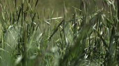 Slow motion shot of a woman's hand touching tall grass. Stock Footage