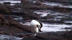 Yellow eyed penguin cleaning and preening Stock Footage