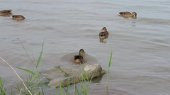 Some mallards/ wild ducks (Anas platyrhynchos) swimming - stock footage