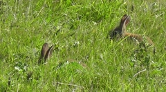 Two common rabbits feeding in high grass Stock Footage