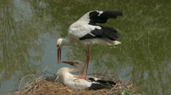 Pair of white storks (Ciconia ciconia) copulating in their nest. Stock Footage